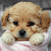 Doggy in Towel Live Wallpapers