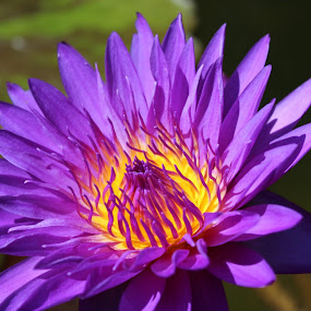 Purple Water Lily by Colin Toone - Flowers Single Flower (  )