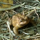 Common American Toad