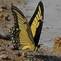 Queen Swallowtail