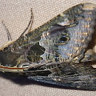 Sundowner Moth
