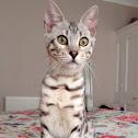 Bengal Feline