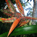Aachmea angustifolia??
