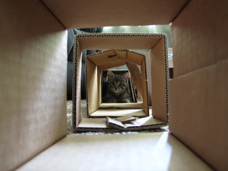 Felix Tunnel by Lily Spencer - Animals - Cats Playing ( cats, kitten, young,  kittens, animal, animals, cute )