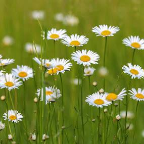 Love the Daisy by Sharon Horn - Flowers Flowers in the Wild ( field, field flowers, daisies, daisy, flowers, flower, wild flowers )
