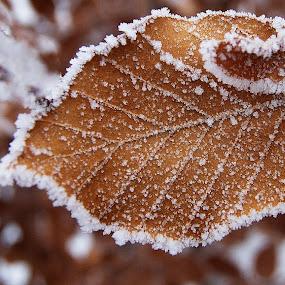Frozen leaf by Kim  Schou - Nature Up Close Leaves & Grasses ( kim schou, winter, snow, leaf, frozen, nakskov,  )