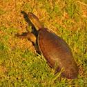 Krefft's Short-Necked Turtle