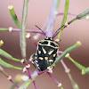 Bagrada Bug/Painted Bug