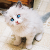 Ragdoll Cute Kitten LWP