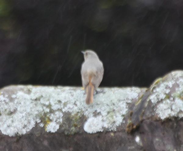 Black Redstart / Hausrotschwanz (female)