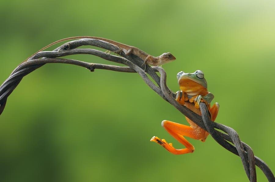 where ya goin' ? by Andri Priyadi - Animals Amphibians ( lizard, macro, frog, indonesia, amphibian, nikon )