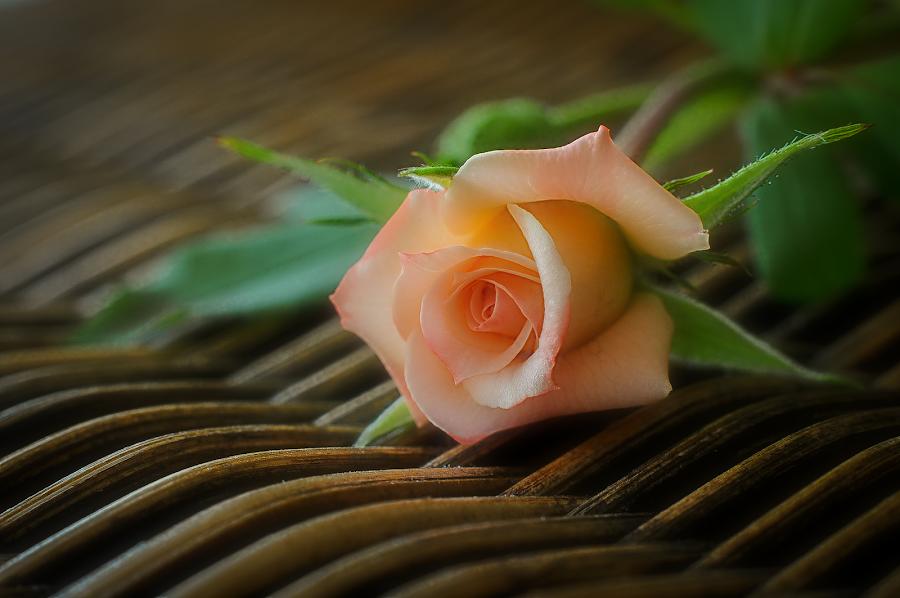 Just for you by Steve Chilton - Flowers Single Flower ( rose, nature, still life, carnation, flower,  )