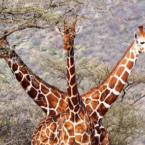 Three Headed Giraffe by Tony Murtagh - Animals Other Mammals ( giraffe, safari, kenya, wildlife,  )