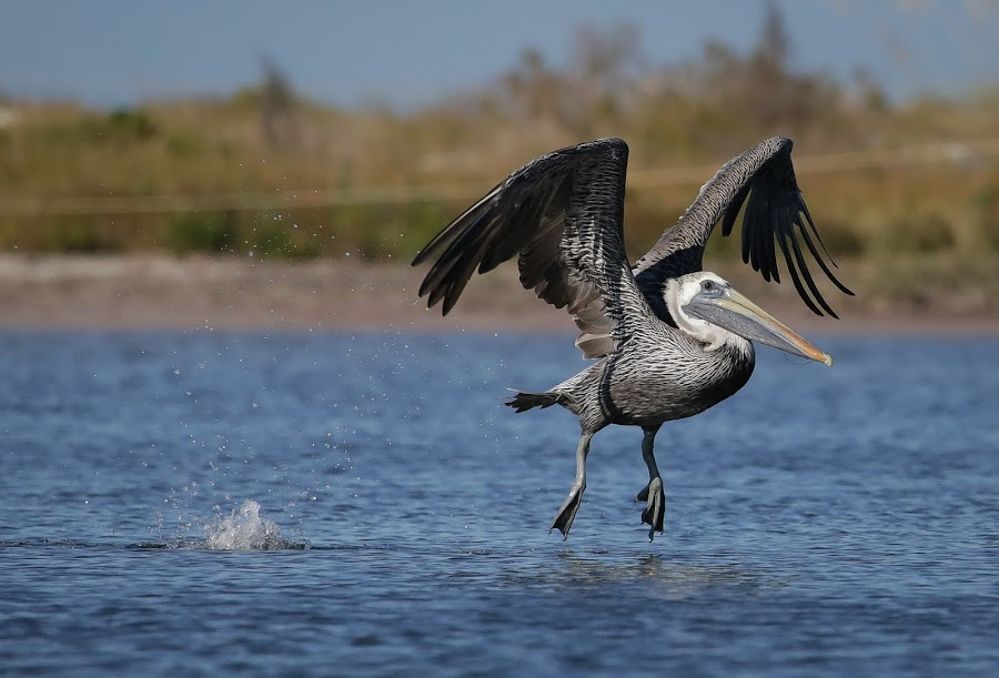 Landing Gear Deployed by Jared Lantzman - Animals Birds ( bird, nature, wings, nest, pelican, birds,  )