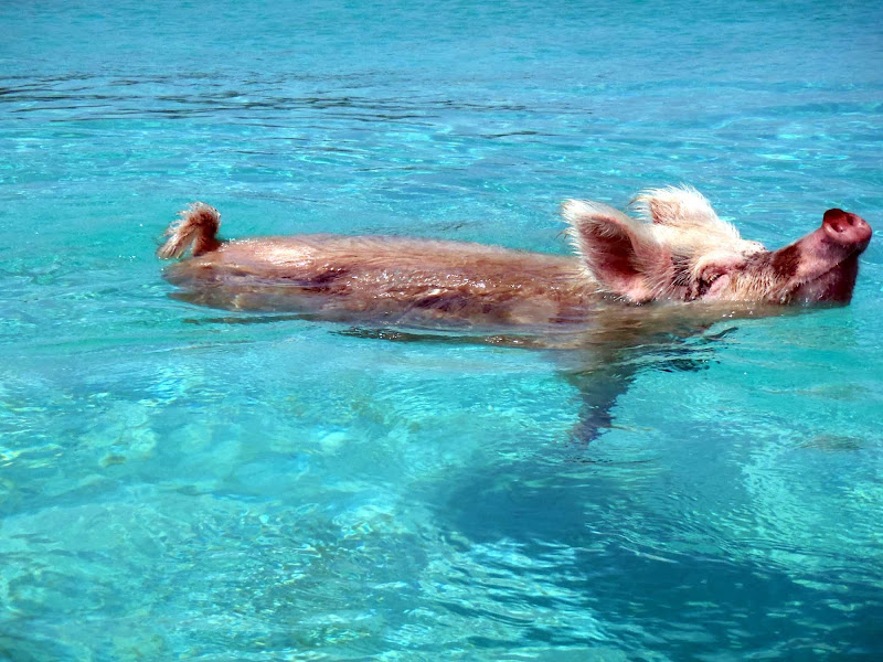 Pigs don't fly but they do swim in the Exuma district of the Bahamas.