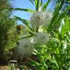 Mexican Bottonbush