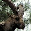 Iberien Ibex,Cabra Montesa