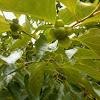 Persimmon(柿子)