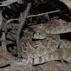 Mojave Rattlesnake