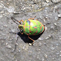 Clown Stink Bug