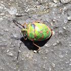 Clown Stink Bug