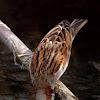 Gorrión común (House Sparrow)