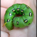 White-lined Sphinx caterpillar