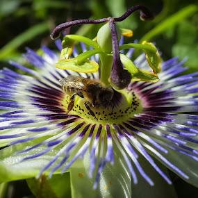 passiflora edulis by Boris Romac - Flowers Single Flower ( croatia, coguar, hvar, gr, pleasure fruit, ricoh )