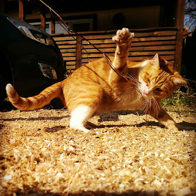 GINGER CAT FIGHTS by Morgentau ;) - Animals - Cats Playing ( walka, pazur,  )