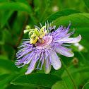 Maypop (Passiflora)