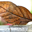 Dead Leaf butterfly (dry-season form)