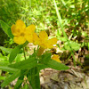 Hoary/Yellow Puccoon