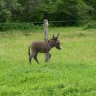 Bethlehem donkey