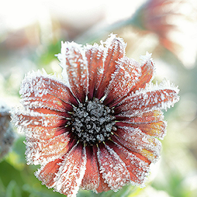 Frosty Morning by Faillie Photos - Flowers Single Flower (  )