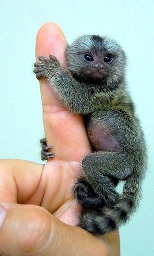 Мавпи Живі Шпалери