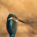 kingfisher - Martin Pescatore