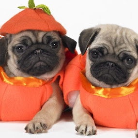 Pumpkin Pugs by Fullerton FireCo - Animals - Dogs Portraits ( animals, dogs, cute pugs, pumpkin pugs, pugs )