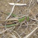 Velvet-striped Grasshopper