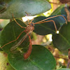 Short-tailed Ichneumon Wasp