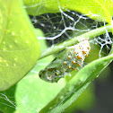 Variegated Fritillary cocoon
