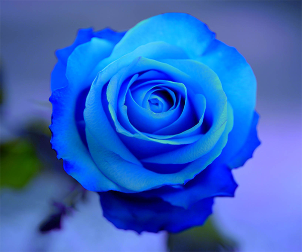 blue rose live wallpaper android apps on google play