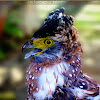 Philippine Crested Serpent Eagle