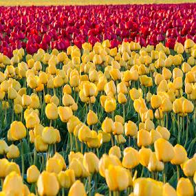 by Dana Styber - Flowers Flower Gardens ( yellow tulips, nature up close, red tulips, tulips, wa, flowers, fields )