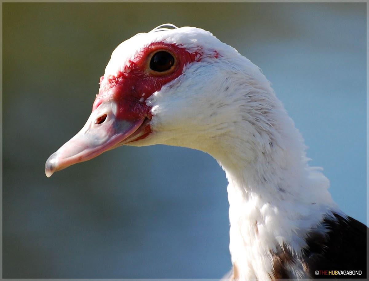 Muscovy Duck (female)