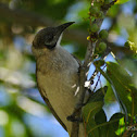 Little Friarbird