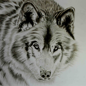 Spirit Hunter by Paul Murray - Drawing All Drawing ( wolf, wildlife, drawing, realism, animal )