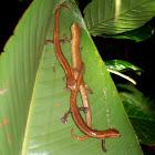 Mombacho Salamander