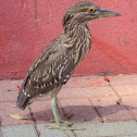 Black-crowned Night-Heron (Immature),  Savacu, Dorminhoco