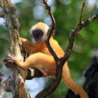 Silverleaf Monkey