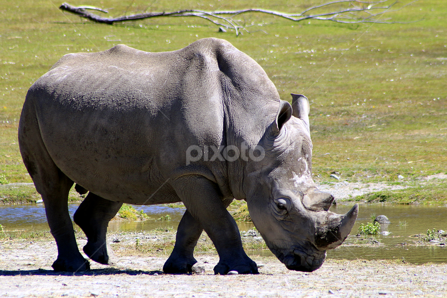 Southern White Rhinoceros by Phil Le Cren - Animals Other Mammals ( rhinoceros, southern white rhinoceros, rhino, mammal, animal,  )